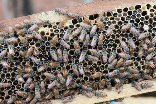 bee honey india