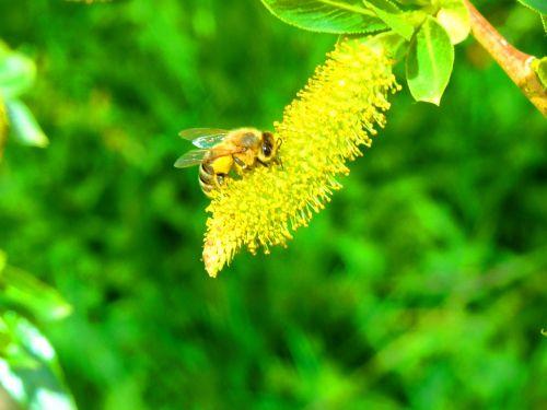 bičių,pavasaris,ganykla,vabzdys,gamta,gėlė,makro,žiedadulkės,pabarstyti,medaus BITĖ,žiedas,bičių žiedadulkės,gėlės,vabzdžių žydėjimas,geltona,žalias