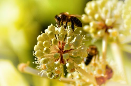 bee pollinate insect