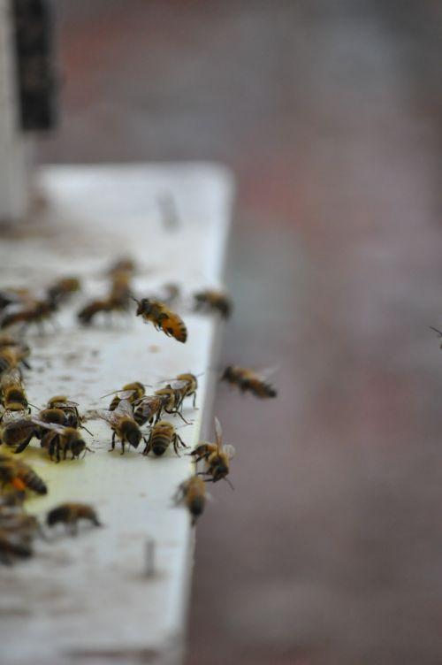 bee drones adopt honey