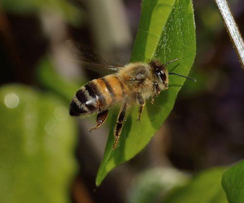 bee mellifera nature