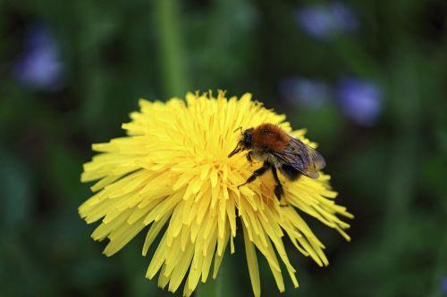 bičių,žiedas,žydėti,nektaras,gėlė,vabzdys,Uždaryti,apdulkinimas,augalas,gamta,pavasaris,žiedadulkės,geltona,sunkiai dirbantis,kruopštumas,užsiėmes