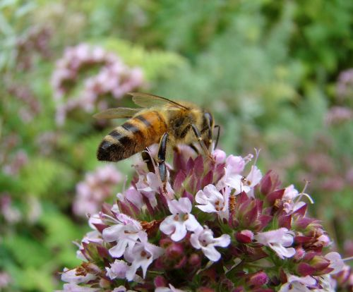 bee insect thyme