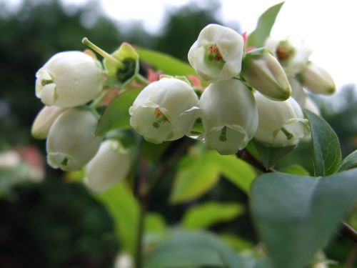 bee bilberry flower
