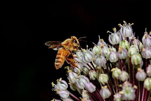 bičių,makro,gėlė,medus,žiedadulkės,apdulkinimas,porai,augalas,žiedas,medaus BITĖ,vabzdys,išplistų,gėlių,pavasaris,violetinė,tvirtas