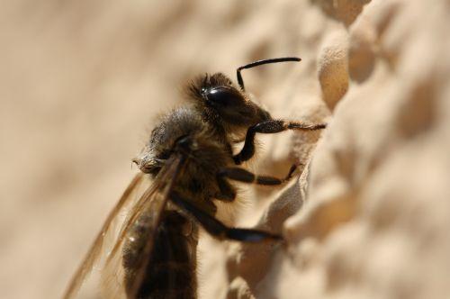 bičių,makro,vabzdys,Uždaryti,gamta,sodas,vabzdžių makro,gyvūnas