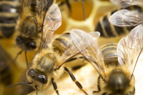 bičių,ul,medus,vabzdys,bitės,paskirstymo poveikis,žiedadulkės,korio rupiniai,kaimas,gabaliukas,saldus,makro,nektaras,pasieka,vasara,bitininkystė