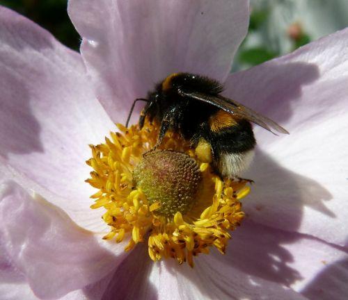 bee plant plants