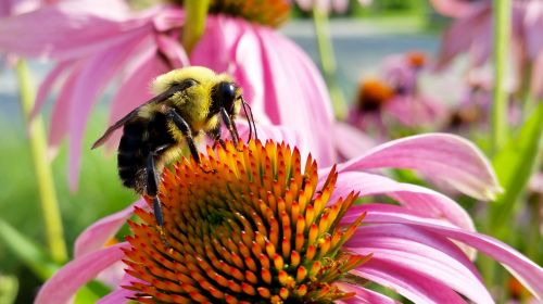 bee coneflower insects