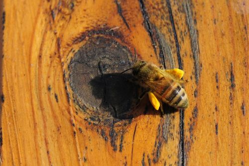 bičių,žiedadulkės,vabzdys,vasara,makro,gamta,apdulkinimas,bičių žiedadulkės,medaus BITĖ