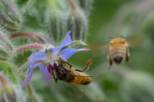 bee insects borage