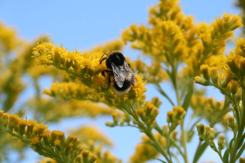 bičių,vabzdys,skraidantis vabzdys,žiedadulkės,vabzdžiai,geltona