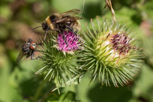 bee fly thistle flower