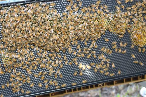 bee hive framework