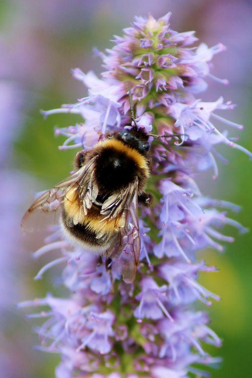 bičių,Hummel,vabzdys,žiedadulkės,medus,žiedas,žydėti,pabarstyti,surinkti,Uždaryti,gamta,violetinė,gyvūnas,apdulkinimas,nektaras,užimtas bičių,bičių žiedadulkės,sodas,rinkti medų