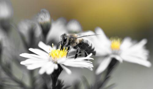 bee honey bee aster