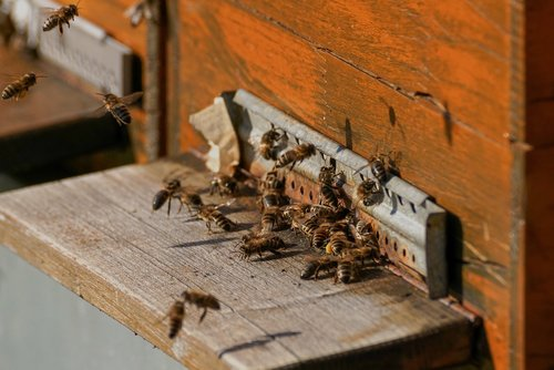 bee colonies  bees  beehive
