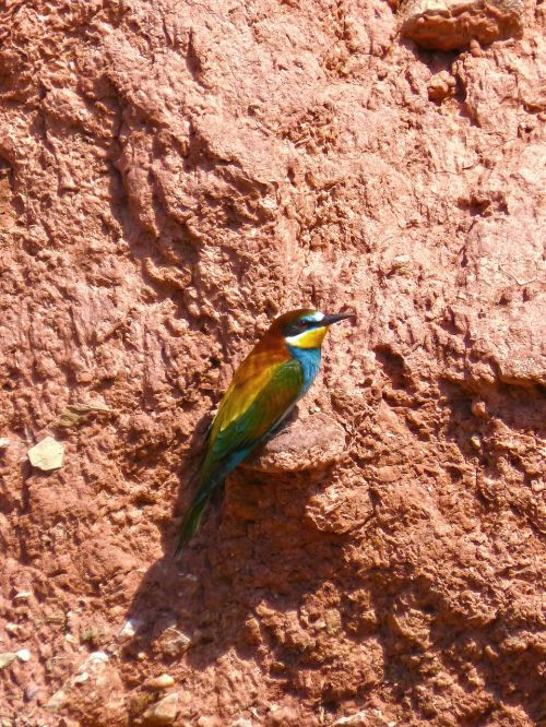 bee-eater colorful mud wall