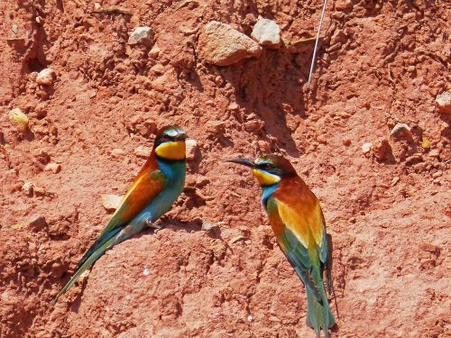 bee-eater pair of bee-eaters ave