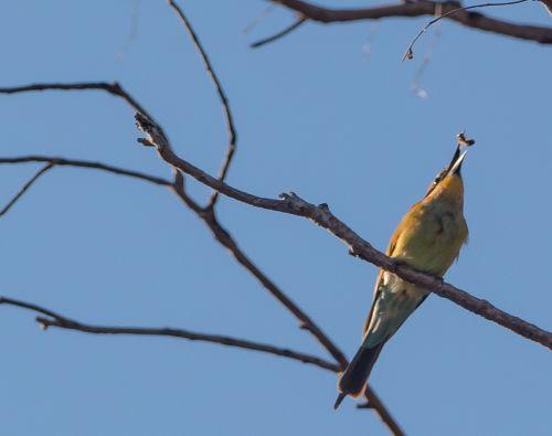 bee eater bird australia