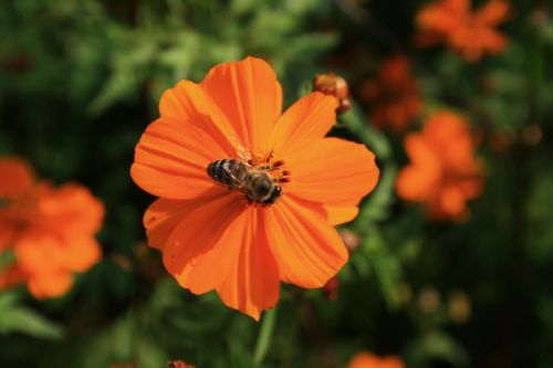 Bee On Cosmos Flower