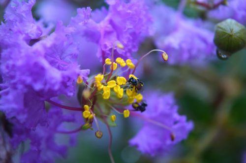 Bee On Crepe Flower