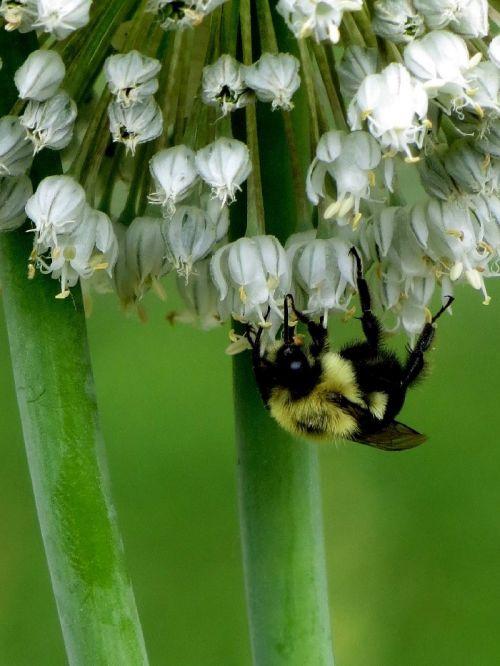 Bee On Leek Blooms