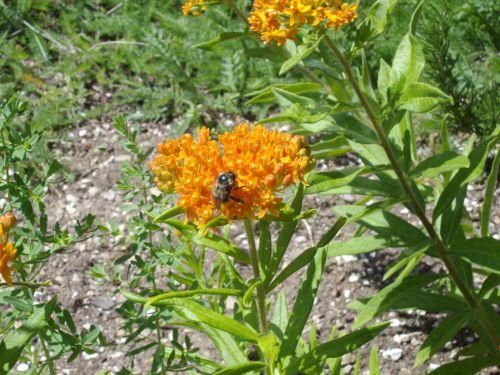 Bee On Pleurisy Root