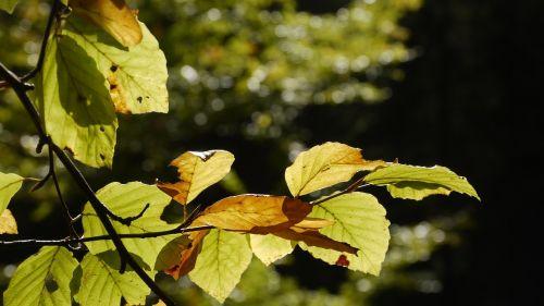 beech autumn fagus sylvatica