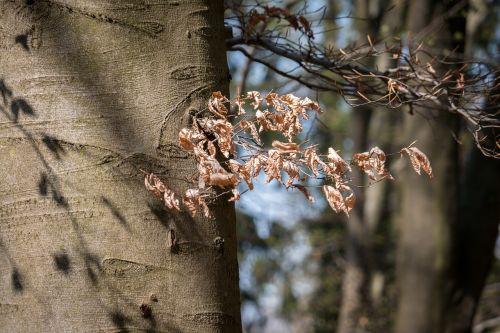 beech beech leaves spring