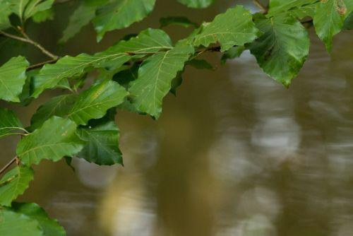 beech foliage beech forest