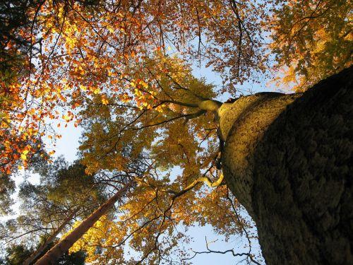 beech beech forest fagus sylvatica