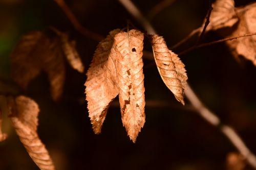 beech beech leaves leaves