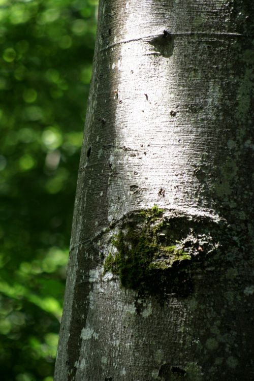beech booking master forest