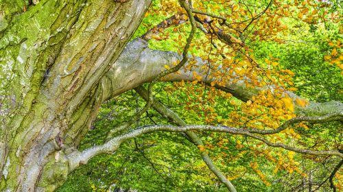 beech beech wood autumn