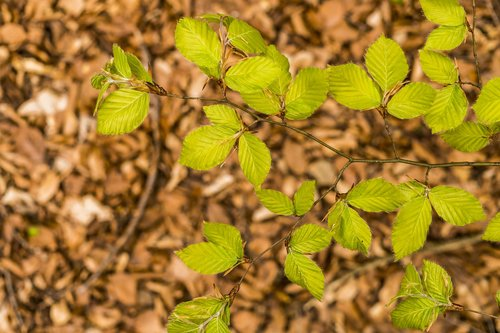 beech  beech leaves  spring