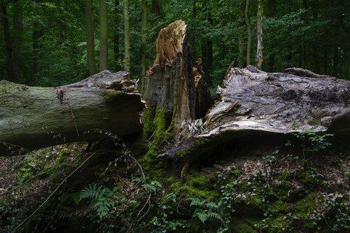 beech  storm damage  forest