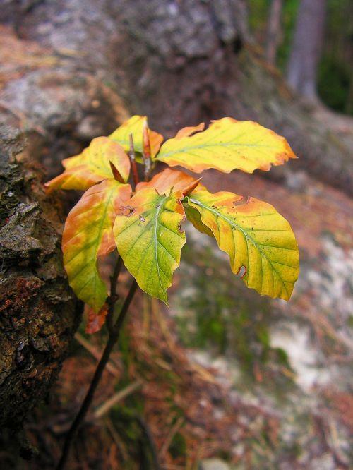 beech tree seedlings
