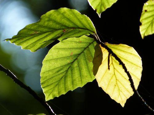 beech leaves back light