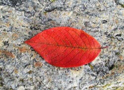 beech autumn leaf