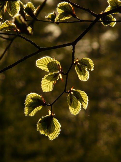 beech beech leaves fagus sylvatica