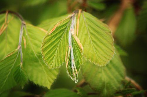 beech beech leaf beech leaves