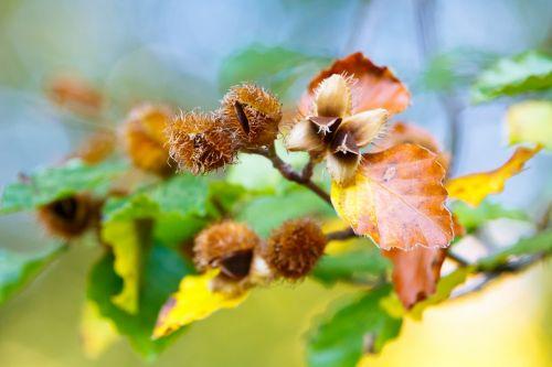 Beech Branch In Autumn