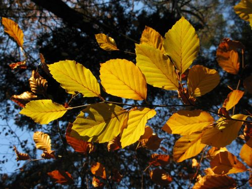 beech forest fagus sylvatica sun