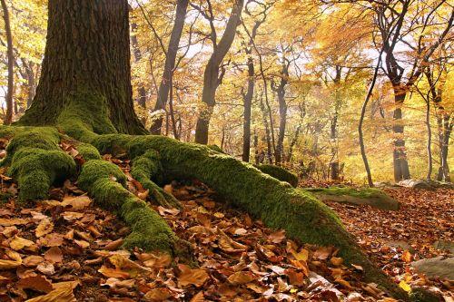 beech forest roots autumn