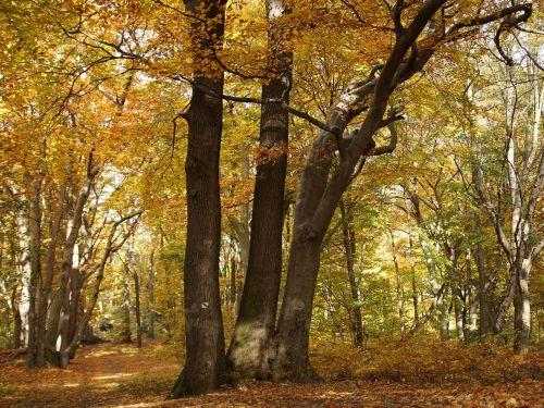 beech forest beech forest