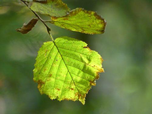 beech leaves autumn fall foliage