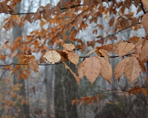 beech leaves beech tree