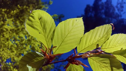 beech leaves beech leaves
