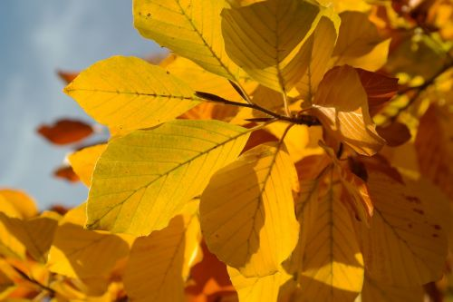 beech leaves fall color yellow